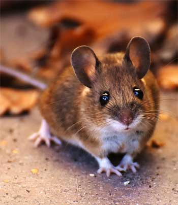 Field Mouse - How to Get Rid of Mice in Your Walls - and Back Out into the Fields!